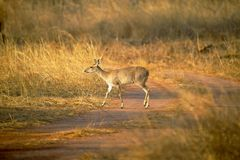 Four Horned Antelope, Tetracerus quadricornis or chousingha, Bandhavgarh Tiger Reserve. Madhya Pradesh, India Stock Image