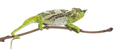 Four-horned Chameleon, Chamaeleo quadricornis Royalty Free Stock Image
