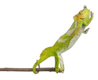 Four-horned Chameleon reaching away. From it's branch, Chamaeleo quadricornis, in front of white background stock photography