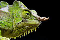 Four-horned Chameleon / Trioceros quadricornis Stock Image