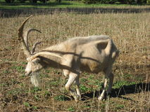 Four Horned Goat Stock Photos