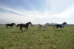 Four horse frolicking in field. A nice view of four spirited horses running across a wide open field on a bright sunny day with thin wispy clouds Stock Photography