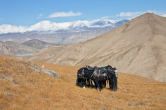 Four horse in harness on pasture in Kyrgyzstan. Stock Image