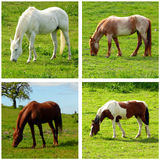 Four horses. In same grazing posture Stock Images
