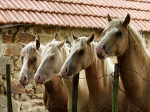 Four horses. On a field in the summer in france Stock Photography