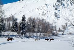 Four horses come out of frozen forest stock photo
