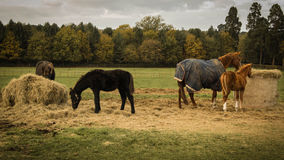 Four horses on field Stock Image