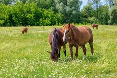 Four horses grazing on the green grass of the meadow on a sunny summer day Stock Photos