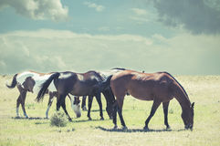 Four Horses Grazing on the Prairie Stock Photography