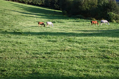 Four horses in a meadow Stock Photos