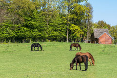 Four Horses in the Meadows. Four Horses grazing green grass in spring royalty free stock photo