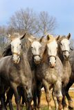 Four horses are in motion royalty free stock photo