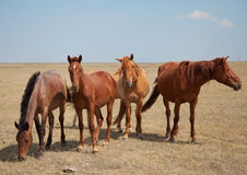 Four horses on the pasture Royalty Free Stock Photo