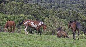 Four Horses Playing. In a field on a farm up by Boulder Utah USA Stock Photo
