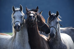 Four horses pose for a photo Royalty Free Stock Photography