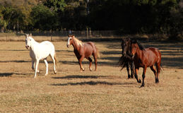 Four Horses Running Stock Photo