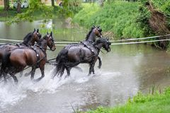 Four horses to overcome the water obstacle stock images