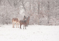 Four horses in a very heavy snowstorm Stock Photo