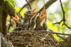 Four hungry chicks in a nest with yellow beaks closeup stock photo