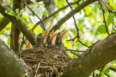 Four hungry chicks in a nest with yellow beaks Stock Photos