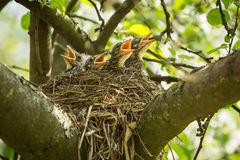 Four hungry chiks in a nest stock image