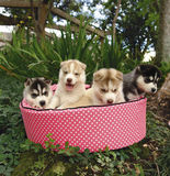 Four husky puppies royalty free stock photography