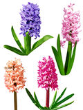 Four Hyacinth Royalty Free Stock Photos