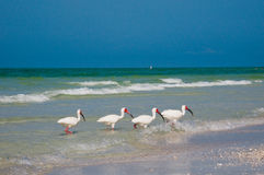 Four Ibis fishing Stock Image