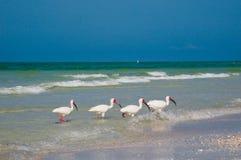Four Ibis fishing stock image