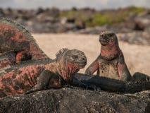 Four Iguanas Royalty Free Stock Image