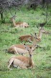 Four Impala Antelope resting Royalty Free Stock Photography