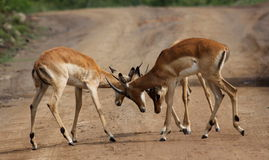 Four impala males in a contest of horns Royalty Free Stock Images