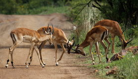 Four impala males in a contest of horns Royalty Free Stock Photos