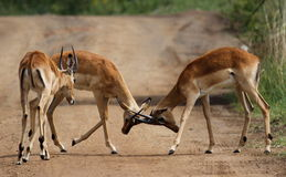 Four impala males in a contest of horns Stock Photos