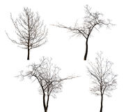 Four isolated bare trees collection Royalty Free Stock Images