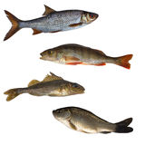 Four isolated fishes Stock Photo