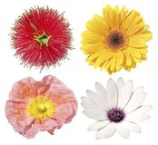 Four Isolated Flowers. Daisy gerbera bottlebrush and poppy on a white background Royalty Free Stock Images
