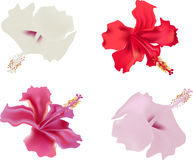 Four isolated hibiscus flowers Royalty Free Stock Photography