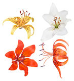 Four isolated lily blooms collection. Set of lily flowers isolated on white background Royalty Free Stock Photos