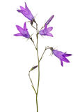Four isolated on white bloom Spreading bellflower Stock Photos