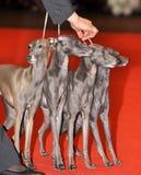 Four Italian Greyhound dogs Stock Photography