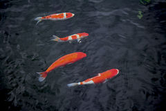Four Japanese koi in a line Royalty Free Stock Photos