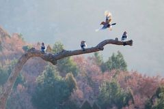 Jay. Four jays rest on tree trunk in mountain forest. Scientific name: Garrulus glandarius Royalty Free Stock Images
