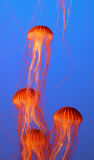 Four jellyfish floating gracefully Stock Photography