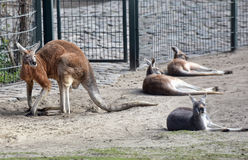 Four kangaroos at the zoo Stock Photos