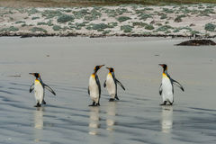 Four king penguins standing on the sandy beach Stock Photography