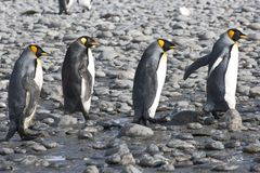 King penguins, four penguins walking in sunshine, Antarctica. Four king penguins walking behind one another on beach in South Georgia Royalty Free Stock Images