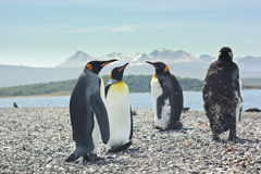 Four king pinguins near sea Royalty Free Stock Image