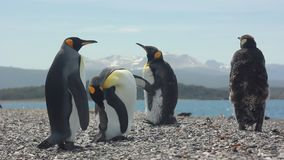 Four king pinguins near sea. Two king pinguins standing near sea and looking on others stock footage