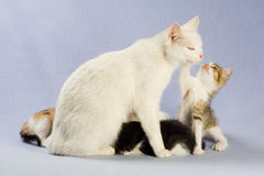 Four kitten with her mom, isolated Royalty Free Stock Photos